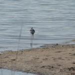 Кулики на лечебном озере - Город-курорт Саки